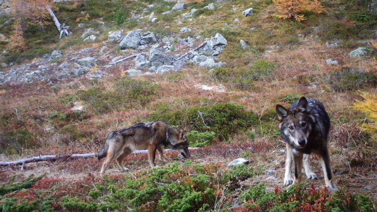 Deux jeunes loups de la meute de Stagias tirés d'affaire (illustration). [Keystone]