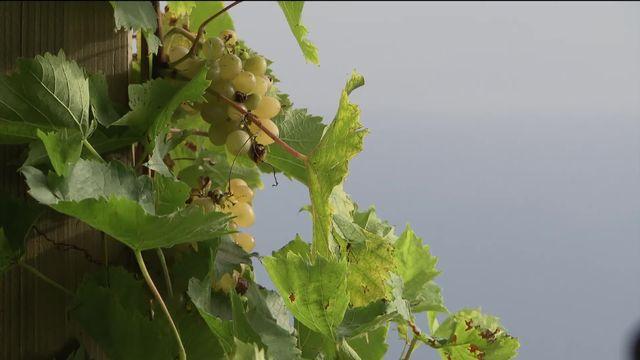 La révolte des vignerons romands [RTS]