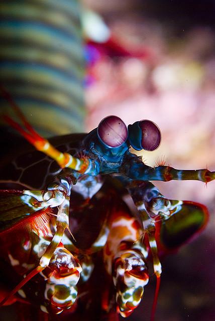 Odontodactylus scilarus, θαλάσσιος μαντής.  Περιέχει δεκαέξι τύπους φωτοσύνθεσης. [Nazir Amin/underwatershoot.com - Wikimédia CC BY-SA 2.0]