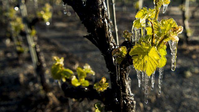 Les vignerons crient à l'aide suite à des vendanges catastrophiques. [Jean-Christophe Bott - Keystone]