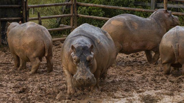 """Vingt-quatre des 80 hippopotames qui ont colonisé les eaux voisines de l'ancienne propriété du célèbre narcotrafiquant Pablo Escobar, en Colombie, ont été stérilisés afin de maîtriser leur croissance """"incontrôlée"""". [CORNARE - AFP]"""