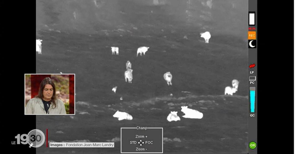 Les images rares d'une attaque de loups contre des vaches au Marchairuz (VD)