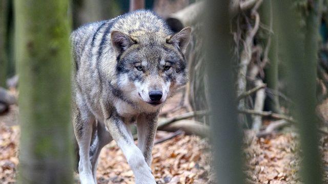 Depuis la fin août, le canton de Vaud a reçu l'autorisation de la Confédération pour des tirs de régulation du loup. Une décision qui crée des tensions dans le Jura. [Klaus-Dietmar Gabbert - Keystone]