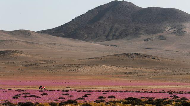 Des champs de fleurs dans le désert d'Atacama, au Chili, photographiés le 7 octobre 2021.  [José Caviedes - Keystone]